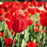 Czerwoni tulipany na flowerbed starzenie się zdjęcie Makro- Obrazy Stock