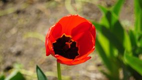 Czerwoni tulipany na ? fotografia royalty free