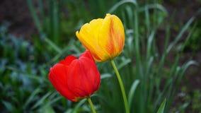 Czerwoni tulipany na ? zdjęcie stock
