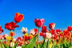 Czerwoni tulipany na polu z niebieskim niebem i światłem słonecznym zdjęcia royalty free