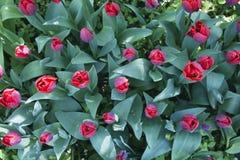 Czerwoni tulipany Odgórny widok Zdjęcia Royalty Free