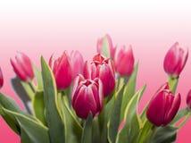 Czerwoni tulipany odizolowywający na róży tle zdjęcie royalty free