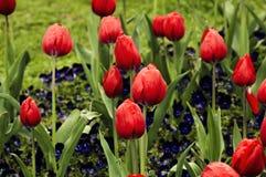 Czerwoni tulipany po deszczu Tło zdjęcie stock