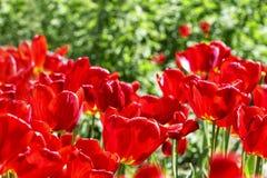 Czerwoni tulipany przeciw tłu zieleni liście zdjęcie royalty free