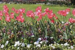 Czerwoni tulipany wśród barwionych i białych pansies Zdjęcie Royalty Free
