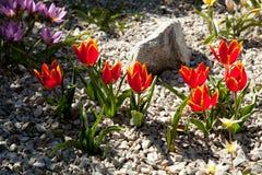 Czerwoni tulipany wśród skał Fotografia Royalty Free
