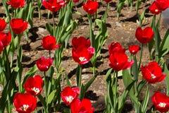 Czerwoni tulipany w flowerbed Fotografia Stock