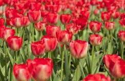 Czerwoni tulipany w ogródzie Zdjęcia Royalty Free