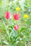 Czerwoni tulipany w parku Zdjęcia Royalty Free