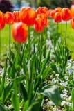Czerwoni tulipany w parku zdjęcia stock