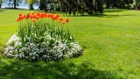 Czerwoni tulipany w parku zdjęcie royalty free