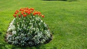 Czerwoni tulipany w parku obrazy royalty free