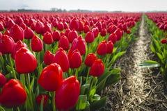 Czerwoni tulipany w polu z footpath fotografia royalty free