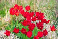 Czerwoni tulipany w Whitworth parku, Machester niebieska spowodowana pola pe?ne si? chmura dzie? zielonych ro?lin krajobrazu ruch fotografia stock
