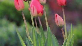 Czerwoni tulipany w wiecz?r ?wietle zdjęcie wideo
