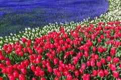 Czerwoni tulipany z błękitnymi gronowymi hiacyntami Zdjęcia Royalty Free