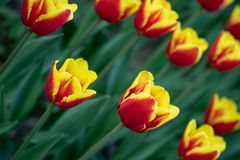 Czerwoni tulipany z koloru ? obrazy stock