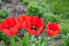 Czerwoni tulipany z płytką głębią pole na wiosna ranku fotografia royalty free