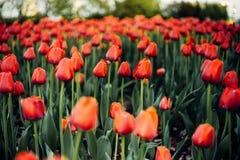 Czerwoni tulipany z zamazan? przestrzeni? dla teksta i t?em fotografia stock