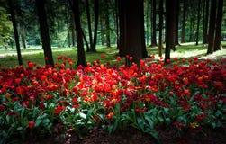 Czerwoni tulipany zasadzający w starym parku na tle las Zdjęcie Stock