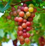 Czerwoni winogrona. Zdjęcia Royalty Free
