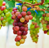 Czerwoni winogrona. Obrazy Stock