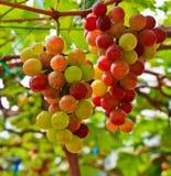 Czerwoni winogrona. Fotografia Stock