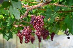 Czerwoni winogrona Zdjęcia Royalty Free