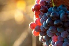Czerwoni winogrona Zdjęcie Stock