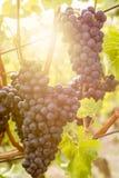 Czerwoni winogrona dojrzewają na winnicy w słońcu zdjęcia royalty free