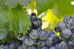 Czerwoni winogrona na winogradzie Fotografia Royalty Free
