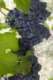 Czerwoni winogrona na winogradzie Obrazy Royalty Free