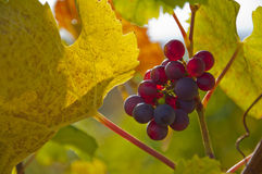 Czerwoni winogrona na winogradzie Zdjęcie Stock