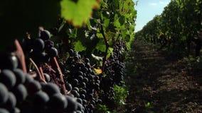 Czerwoni winogrona przygotowywający zbierającymi zbiory wideo