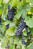 Czerwoni winogrona przygotowywali jest zbierającym przy winnicą Fotografia Stock