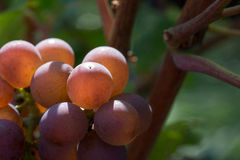 Czerwoni winogrona w ranku słońcu Zdjęcia Royalty Free