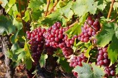 Czerwoni winogrona w spadku Zdjęcie Royalty Free