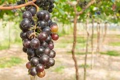 Czerwoni winogrona w winogrono ogródzie lub winnica Opuszczać pozyci Fotografia Stock