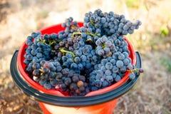 Czerwoni winogrona W zrywania wiadrze Zdjęcie Royalty Free