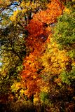 Czerwoni yellowish zieleni dębowi liście zakrywają gałąź fotografia royalty free