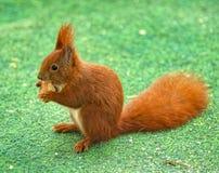 Czerwonobrunatna wiewiórka siedzi na trawie, je z smakiem jego kawałek kanapka właśnie zakłada Obrazy Royalty Free