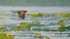 Czerwonoskrzydły kos lata nad leluja ochraniaczami na jeziorze - lato w Crex łąk przyrody terenie w Północnym Wisconsin obrazy stock