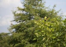 Czerwonoskrzydłego kosa Agelaius phoeniceus Obraz Stock