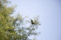 Czerwonoskrzydłego kosa Agelaius phoeniceus Zdjęcie Royalty Free