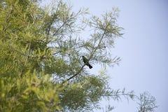 Czerwonoskrzydłego kosa Agelaius phoeniceus Zdjęcia Royalty Free