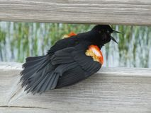 Czerwonoskrzydłego kosa Agelaius phoeniceus Zdjęcia Stock