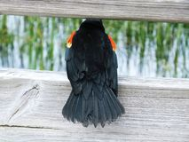 Czerwonoskrzydłego kosa Agelaius phoeniceus Fotografia Royalty Free