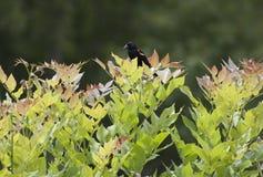 czerwonoskrzydły kos & x28; Agelaius Phoeniceus& x29; Fotografia Royalty Free