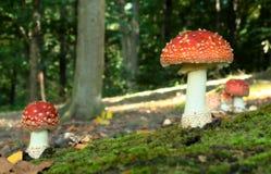 czerwony的Muchomor (伞形毒蕈muscaria) 图库摄影
