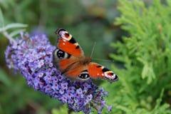 Czerwony ćma w tle błękitny kwiat Fotografia Stock